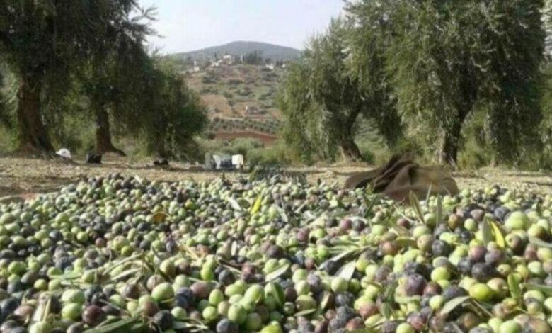 Photo of مصادر داخل عفرين: كتائب الحمزات تستولي على محصول الزيتون وتفرض ضرائب على المواطنين