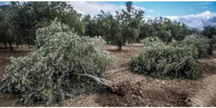 Photo of المرتزقة السوريين الموالين لأنقرة تقتلع مئات أشجار الزيتون في عفرين المحتلة